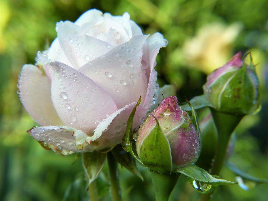 ruža eterično ulje i hidrolat
