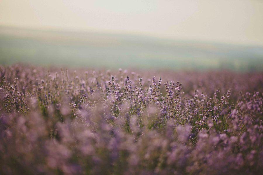 polje lavande
