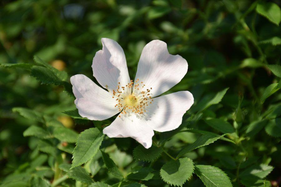 ulje divlje ruže upotreba i recepti