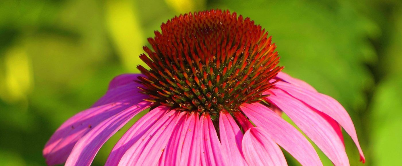Ehinacea za imunitet - echinacea kao lijek - iskustva i savjeti