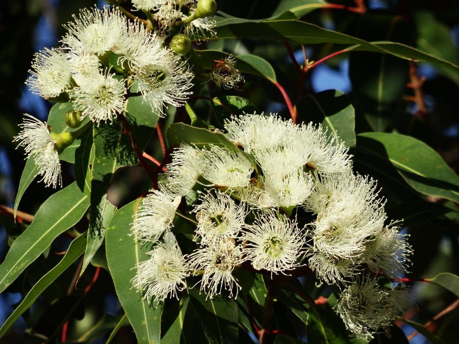 eukaliptus eterično ulje