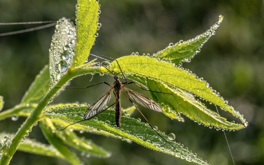 djeluje kao repelent i koristi se protiv komaraca