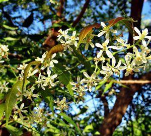 neem ili nim - ljekovita biljka - insekticid, psorijaza, repelent