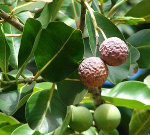 tamanu ulje ili ulje kalofila liječi psorijazu, dermatitise, akne, ožiljke i strije